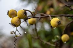 Yellow Pyracantha berries royalty free stock image