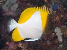 Yellow Pyramid Butterflyfish Royalty Free Stock Image