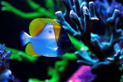 Yellow Pyramid Butterflyfish Hemitaurichthys polylepis royalty free stock images