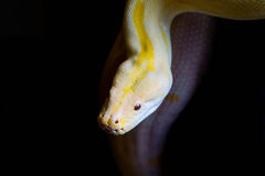Yellow python Royalty Free Stock Images