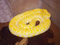 Yellow python snake. Yellow colored, patterned, dangerous creature royalty free stock photo