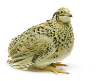 Yellow quail strain isolated on white backround Stock Photo