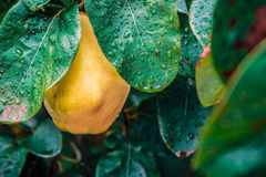 Yellow quince Stock Photos