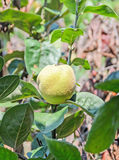Yellow Quince fruit in the tree, Cydonia oblonga, family Rosaceae, close up Stock Photo