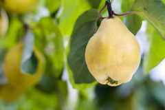 Yellow quince in golden sunny day Royalty Free Stock Photo
