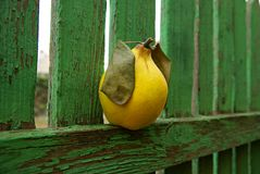 Yellow quince on a vintage wooden fence. Royalty Free Stock Image