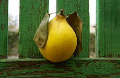 Yellow quince on a vintage wooden fence. Royalty Free Stock Photos