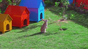 A yellow rabbit is sitting near a small tree, eating leaves. stock video footage
