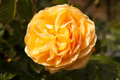 Yellow ragged rose Stock Images