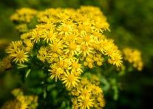 Yellow Ragwort Royalty Free Stock Image
