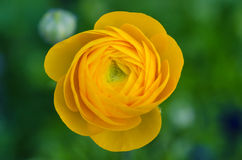 Yellow Ranunculus Royalty Free Stock Photo