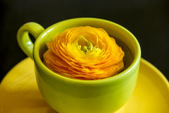 Yellow ranunculus flower in cup with saucer. On dark Royalty Free Stock Image