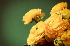 Yellow ranunculus flowers Stock Image