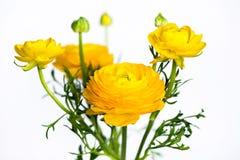 Yellow ranunculus flowers on white Royalty Free Stock Photo