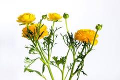 Yellow ranunculus flowers on white Royalty Free Stock Image