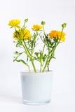 Yellow ranunculus flowers in white pot Stock Photos