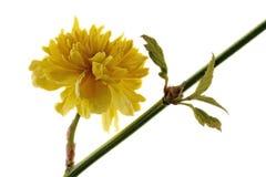 Yellow ranunculus shrub - Kerria japonica - on white background Stock Images