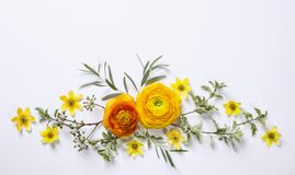 Yellow ranunculus on white background Stock Images
