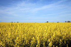Yellow. Field of yellow ( canola ) - biofuel royalty free stock image
