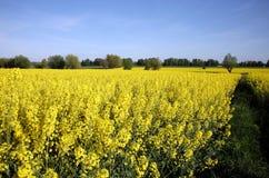 Yellow rape Stock Images