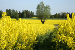 Yellow rape Stock Photography