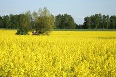 Yellow rape Stock Image