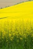 Yellow rape Royalty Free Stock Image