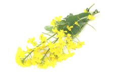 Yellow rape blossoms Stock Photos