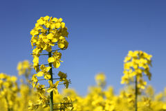 Yellow rape canola Royalty Free Stock Photography