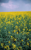 Yellow rape field. Vividly yellow rape flowers on a field with blue cloudy sky. Film scan Stock Image