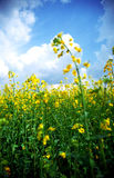 Yellow rape field Royalty Free Stock Photography