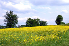 Yellow rape field Royalty Free Stock Images