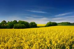 Yellow rape field Stock Photos