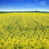 Yellow rape field Royalty Free Stock Photos