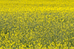 Yellow rape field Stock Images