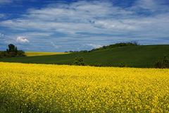 Yellow Rape field. In spring Royalty Free Stock Image