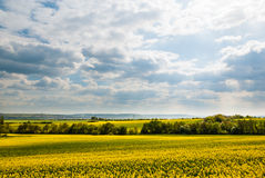Yellow Rape Field against Blue Sky with Clouds Stock Photo