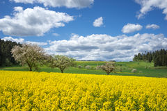 Yellow rape field in blooming rural landscape Stock Photography