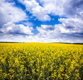 Yellow rape field with blue cloudy sky Royalty Free Stock Photography