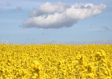 Yellow rape field with blue sky and clouds Stock Photography