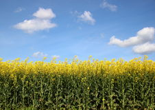 Yellow rape crop field with blue sky and clouds Stock Images