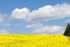 Yellow rape field, Brassica napus, under a cloudy blue sky Stock Photos