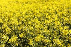 Yellow rape field Royalty Free Stock Image
