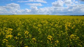 Yellow field on a cloudy sunny day.  stock video footage