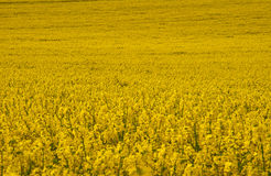 Yellow field in dorset. Yellow crop fills the frame in dorset countryside stock images