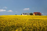 Yellow rape field and farmhouses Royalty Free Stock Image