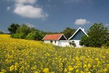 Yellow rape field and farmhouses Royalty Free Stock Images