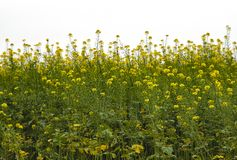 Yellow rape on field. Horizontal line of plants with white cloudy sky Royalty Free Stock Photo