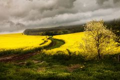 Yellow rape field Landscape with gray clouds Stock Photography
