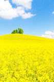 Yellow rape field with little green tree Stock Photos